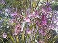 Suvarnabhumi Orchids Farm IMG 20160322 080650 (26837624954).jpg
