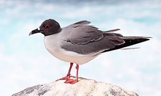 Gull - Swallow-tailed gulls are endemic to the Galapagos Islands.
