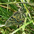 Swallowtail. u-s. Papilio machaon. - Flickr - gailhampshire.jpg