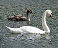 Swan with Cygnet, Barton Waterside - geograph.org.uk - 950499.jpg