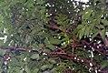 Swietenia macrophylla 7zz.jpg