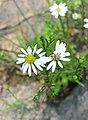 Symphyotrichum pilosum pringlei Tennessee (cropped).jpg
