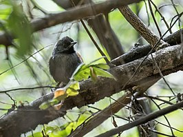 Synallaxis tithys - Blackish-headed Spinetail.jpg