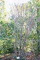 Syringa reticulata - Quarryhill Botanical Garden - DSC03297.JPG