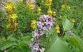Syringa vulgaris Bulgaria 8.jpg