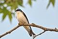 Tachycineta bicolor -Santa Teresa County Park, San Jose, California, USA-8a.jpg