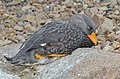 Tachyeres pteneres (Fuegian Steamer Duck - Magellan-Dampfschiffente) - Weltvogelpark Walsrode 2012-03.jpg