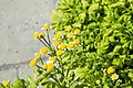 Tanacetum parthenium Golden Moss 0zz.jpg