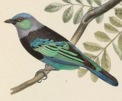 Tangara nigrocincta nigrocincta 1849.jpg