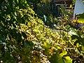 Tarnaveni - harvest - autumn life - panoramio.jpg