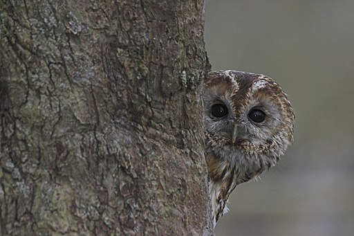 Tawny Owl Lincolnshire