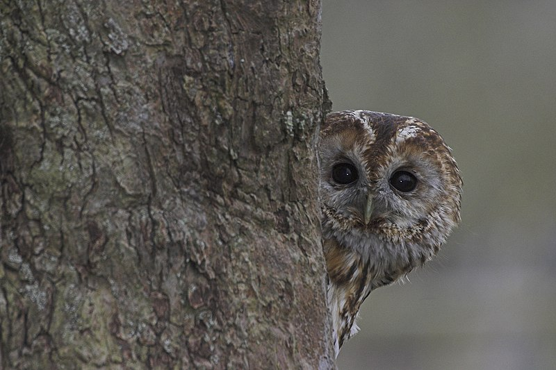 File:Tawny Owl Lincolnshire.jpg