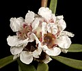 Taxandria - Flickr - Kevin Thiele.jpg