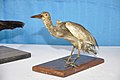 Taxidermied Pond Heron - Palta - North 24 Parganas 2012-04-11 9572.JPG
