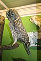 Taxidermied owls of the National Museum of Slovenia.jpg