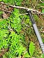 Taxus canadensis 5-eheep (5097478529).jpg