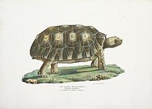 Lithograph of Testudo tabulata from 1836 book Naturgeschichte und Abbildungen Der Reptilien by Heinrich Rudolf Schinz, illustrated by Karl Brodtmann