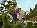 Thai eggplant flowers-KayEss-2.jpeg