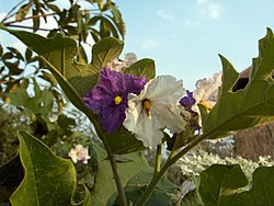 250px-Thai_eggplant_flowers-KayEss-2.jpeg