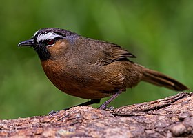 The Black Chinned Laughingthrush.jpg