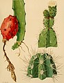 The Cactaceae - descriptions and illustrations of plants of the cactus family (1919) (14760181506).jpg