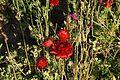The Flower Fields at Carlsbad Ranch 25 2016-05-13.jpg