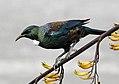 The Tui.NZ (15057168499).jpg