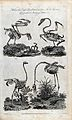 The skeletons of an eagle, swan, ostrich and a crane. Engrav Wellcome V0020633.jpg