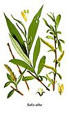 Thomé Salix alba clean.jpg