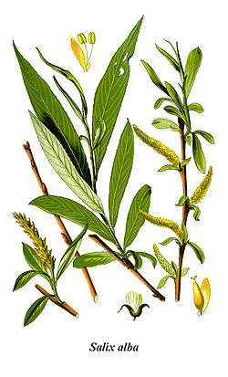 White willow (Salix alba) is a natural source of salicylic acid