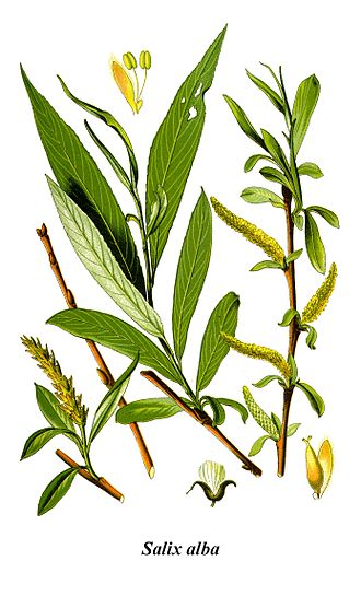 Salicylic acid - White willow (Salix alba) is a natural source of salicylic acid