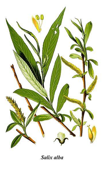 File:Thomé Salix alba clean.jpg
