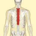 Thoracic vertebrae back.png