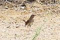Thrush Nightingale (Luscinia luscinia) (8079434951).jpg
