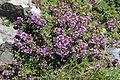 Thymus quinquecostatus (Mount Shirouma).JPG