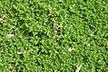 Thymus quinquecostatus 1zz.jpg