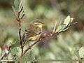 Tickell's Leaf Warbler (Phylloscopus affinis) (37286994710).jpg