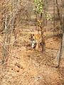 Tiger image20.jpg