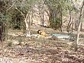 Tiger image34.jpg