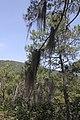 Tillandsia usneoides (Bromeliaceae) (24662786239).jpg