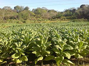 Santiago, Ilocos Sur - Image: Tobacco Field