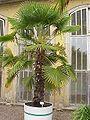 Trachycarpus fortunei2.jpg