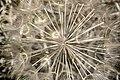 Tragopogon sinuatus, Crete 03(js).jpg