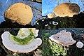 Trametes gibbosa, (Lumpy Bracket, D= Buckeltramete , F= Tramète bossue, NL= Witte bultzwam) white spores and causes white rot, just next to restaurant de Stenen tafel Arnhem. They are very common around Arnhem and most - panoramio.jpg