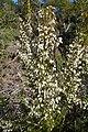 Tree Heather Monchique Portugal 23.02.16 (24602501924).jpg