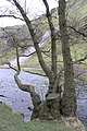 Tree and scree, Dovedale - geograph.org.uk - 701733.jpg