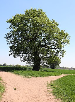 Tree in Saxon Mill Fields