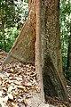 Tree lankawi MAS.jpg
