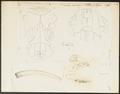 Trichechus rosmarus - skeletdelen - 1700-1880 - Print - Iconographia Zoologica - Special Collections University of Amsterdam - UBA01 IZ21100007.tif