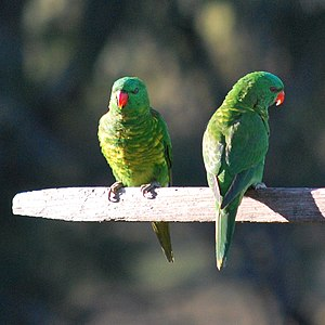 Scaly-breasted lorikeet - Two adults in Australia